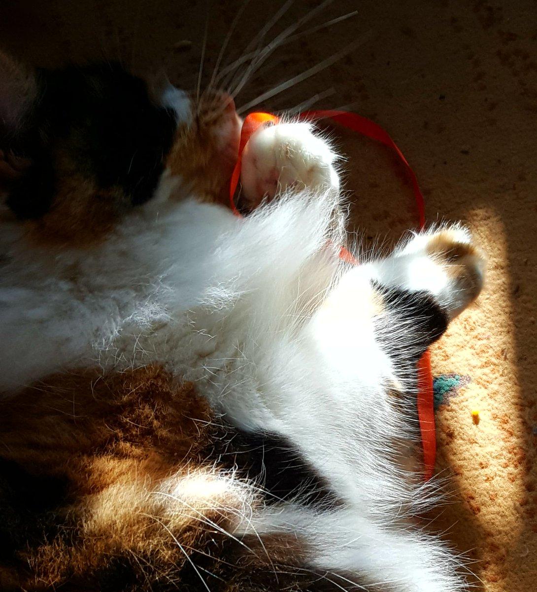 Missy wishes everyone a happy #Caturday #CatsOfTwitter   @LilithTheCat999 @Miss_1999 @kat3796 @ilove4paws @SpiessensVicky @planetpakua @littlekatmom @KaraNUFC @TiffyLaw3 @linalan96 @PaperPie @Eugenia62020609 @LordVining @BlaineRincon