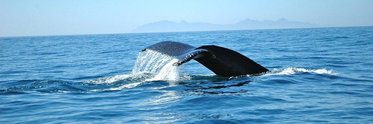 Humpback whale in the Gulf of California #WorldWhaleDay