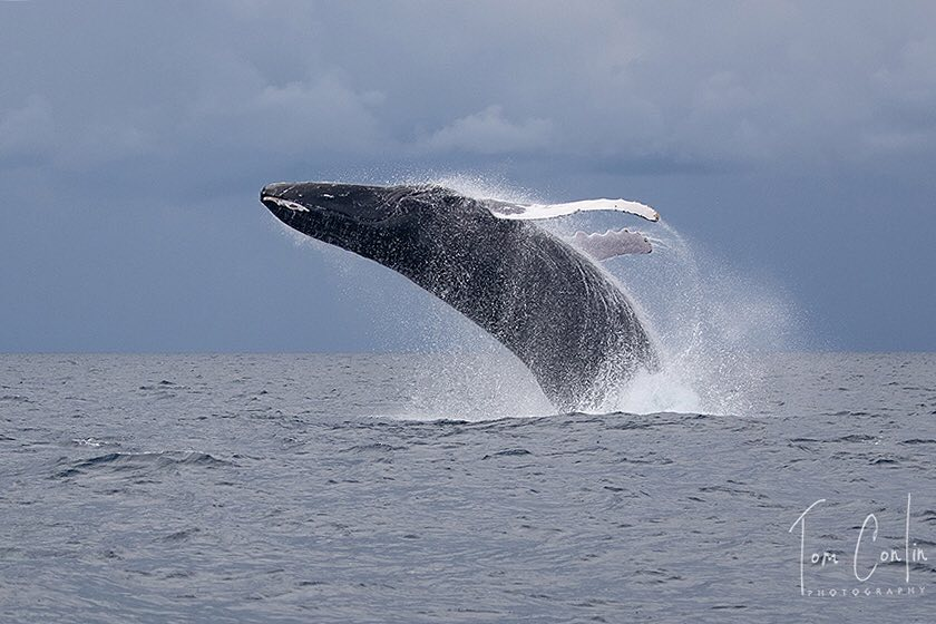 I've never had the pleasure of seeing a whale so I can only offer someone else's photo. This one is by Tom Conlin taken in the Dominican Republic. This backflip thing they do fascinates  me. Would love to see it up close some day. https://www.instagram.com/p/Btts2i_lbKa/?utm_source=ig_share_sheet&igshid=x39nz9vjmsje…