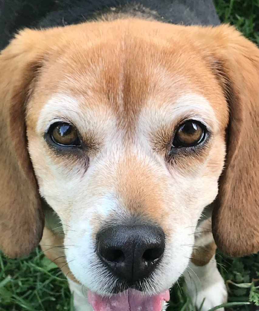 Research shows the majority of humans cannot resist the soft, pleading eyes of a #beagle.  #beaglefacts    @SketchesbyRoo / Twitter<br>http://pic.twitter.com/6iSYR1NxPI