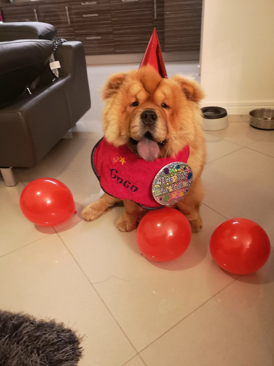 Since he&#39;s getting a bit of attention I thought I&#39;d introduce him..... This is Coco, he&#39;s a Chow Chow and life long rangers fan. He doesn&#39;t get to many games because of work. He&#39;s just turned 1. <br>http://pic.twitter.com/PF60dbhIKz