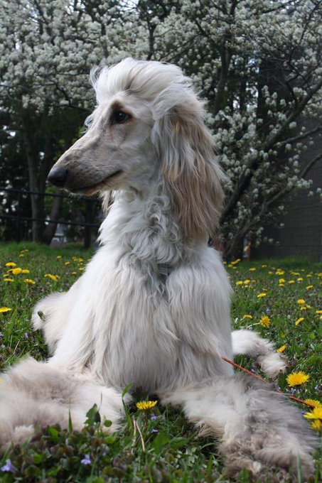 Happy Birthday From Ice T the Afghan Hound