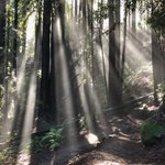 Image for the Tweet beginning: Crepuscular rays in the redwoods.