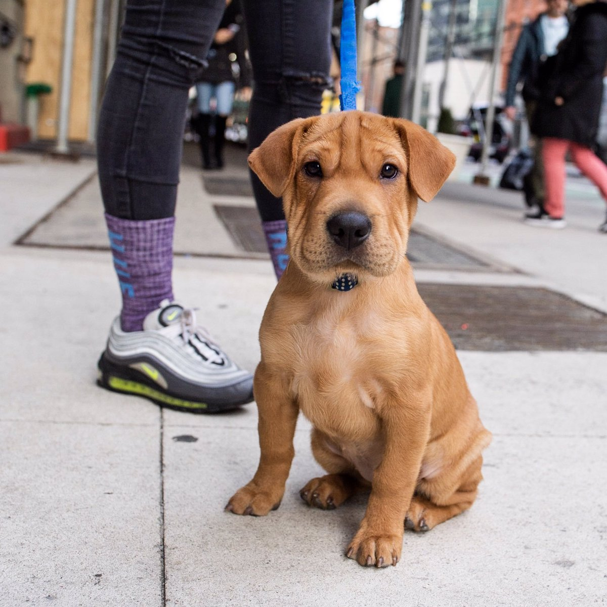 """Leelu, Sharp Eagle (Shar Pei/Beagle mix; 3 m/o), West 4th &amp; Lafayette St., New York, NY • """"The Beagle in her makes weird noises. She sounds like a monkey when she whines."""" <br>http://pic.twitter.com/tBoVI7VatX"""