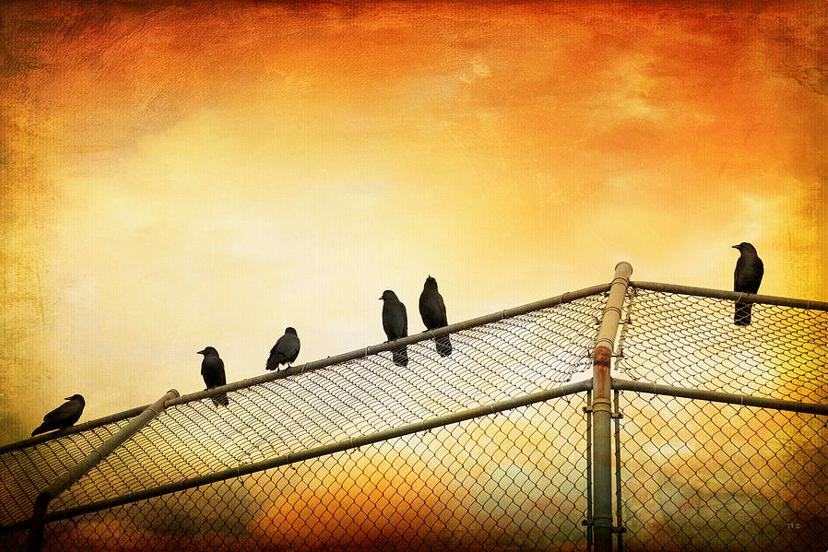 Crows On The Backstop https://theresa-tahara.pixels.com/featured/crows-on-the-backstop-theresa-tahara.html… #Kamloops #KamloopsPhotographer #crows #corvid #baseball #Softball #sunset #colourphotography #colorphoto #birds #blackbirds