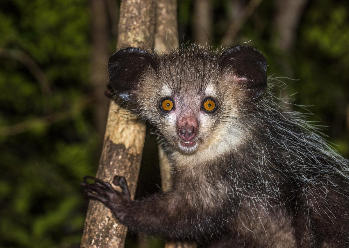 Can't sleep? Neither can this Aye-aye. 🐾  Mostly because he's nocturnal, but also because he loves watching @NakedAndAfraid on Discovery GO ---> http://bit.ly/2IjOe30