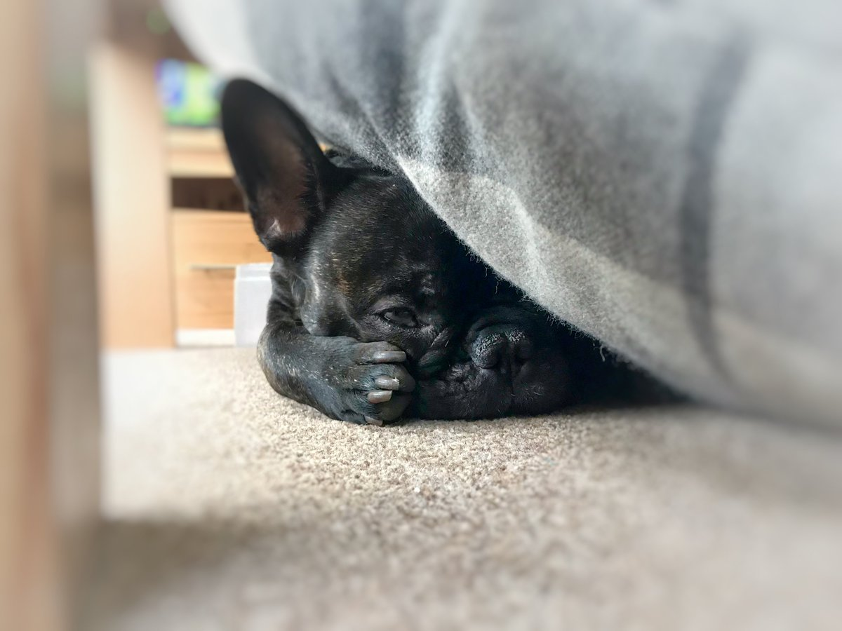 Lazy Sunday #FrenchBulldog <br>http://pic.twitter.com/fkFsAyQyZX