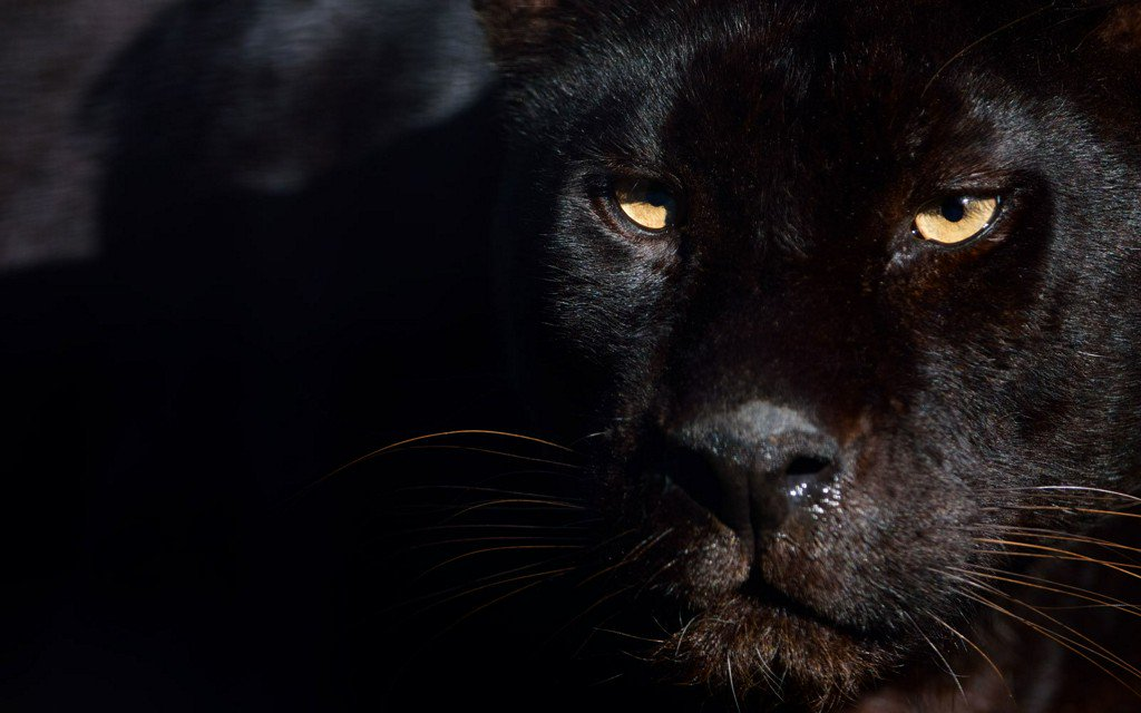 Rare African black leopard photographed in the wild for the first time in a century https://t.co/iSQ4BzOcCa
