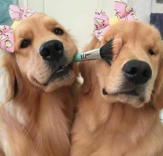 Meet the furry companions of our friends all over the world :   Two golden sisters ... starting the day with mutual fur care ...   Day &amp; Night  <br>http://pic.twitter.com/qSYCcmFcQ2