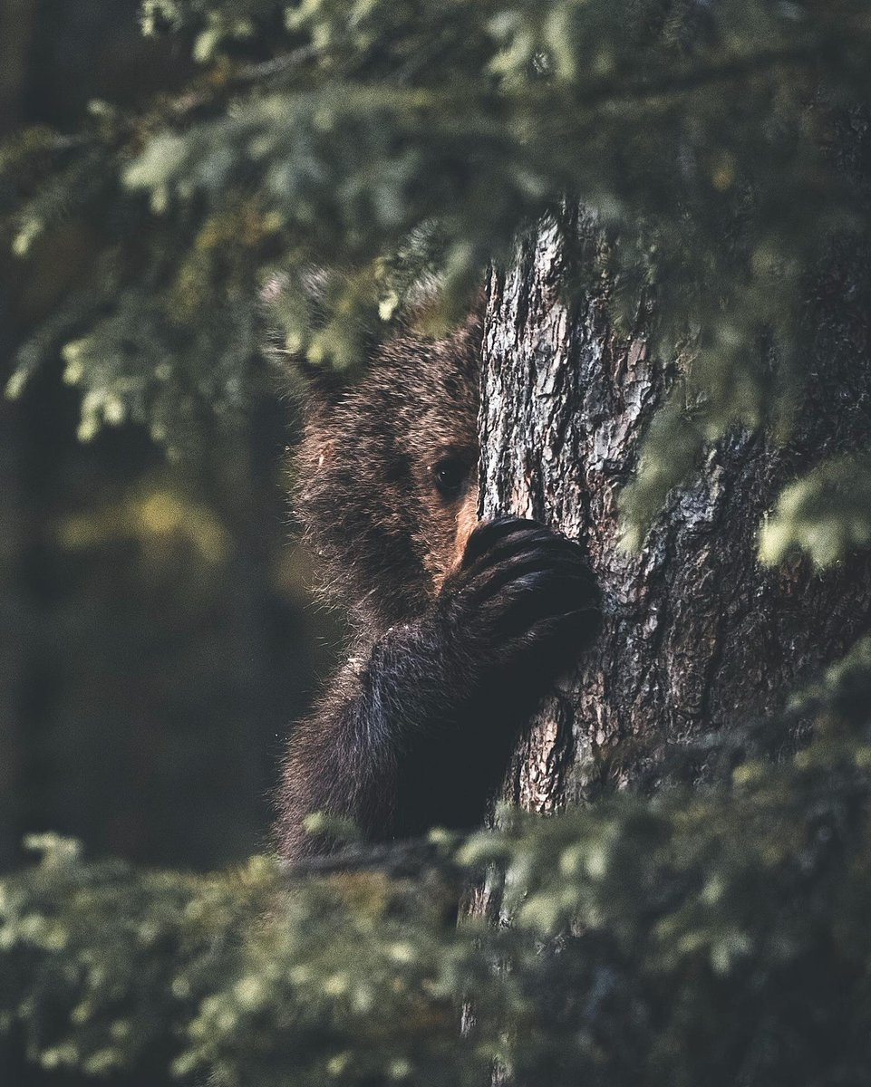 """""""Face to face with a brown bear -- the King of the forest."""" 👑🌲📷 + text by Stian Norum Herlofsen"""