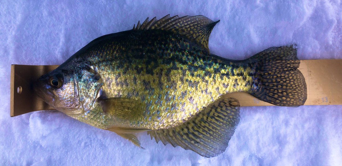 Still on a crappie crusade, the bite has been slow, but worth the battle! #icefishing #crappiecrusade #crappiefishing #icequeen #qualityoverquantity