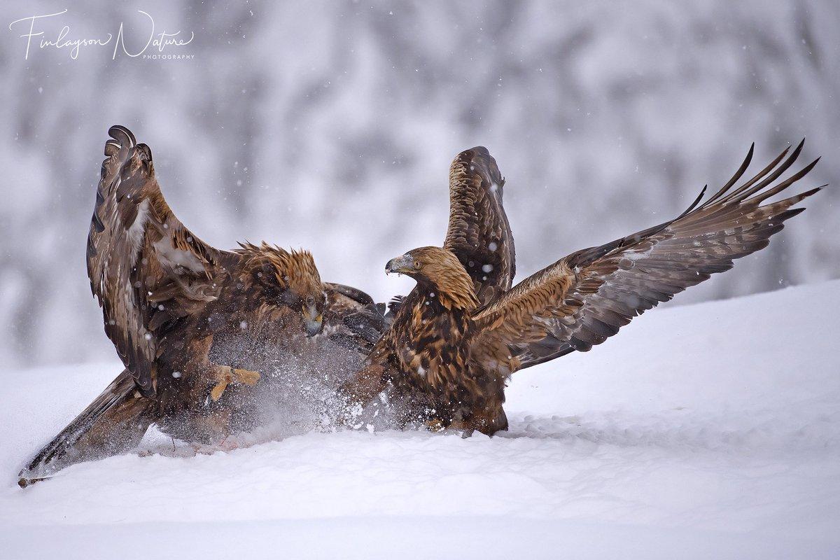 Golden Eagles (Aquila chrysaetos) #Nikon D5 #Nikkor 600mm f4 https://t.co/WKY4Cm3C40