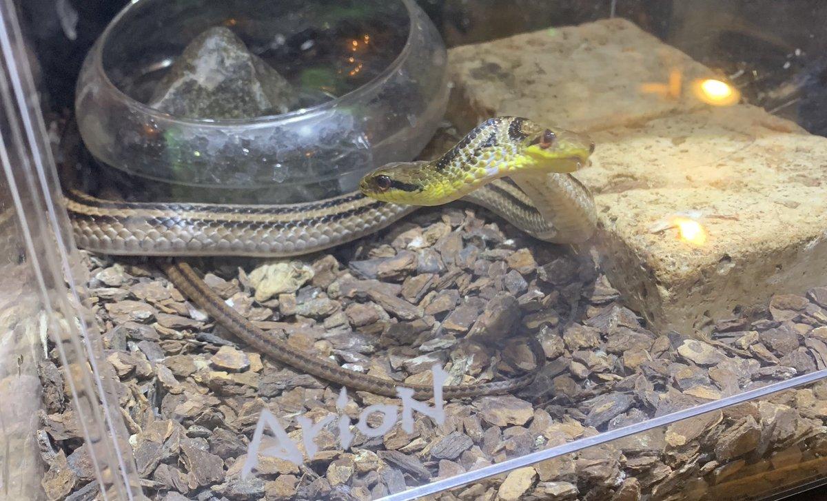 ヘビ 双頭 の