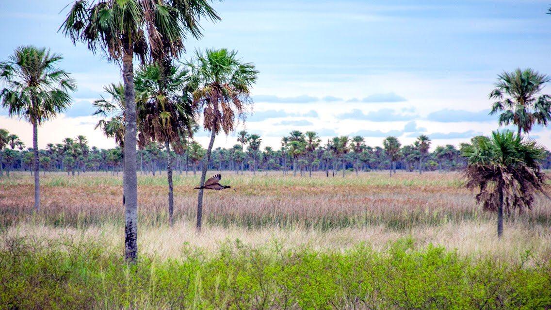 El Parque Nacional #Chaco fue creado en 1954, entre otros motivos, para proteger las raleras de #quebracho que hay en la zona. Abarca casi 15000 hectáreas de la ecorregión chaco húmedo. 🌴 Conocé más en ➡ http://bit.ly/PNChaco