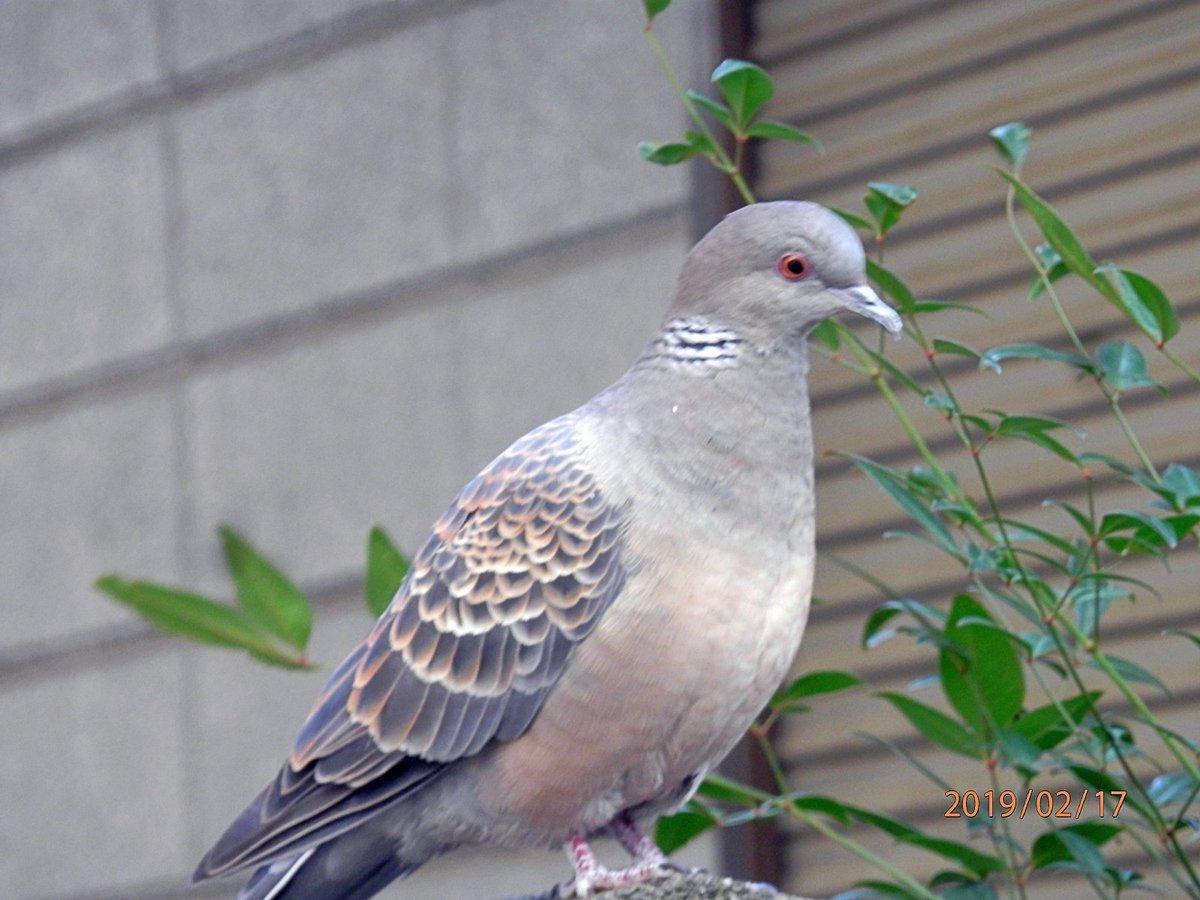 久しぶりに穏やかな一日でした。今朝の鳩さん、仕草が可愛いです。