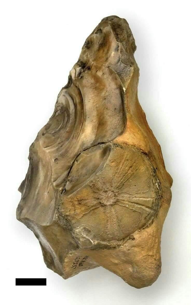 Bifaz de época Achelense perteneciente al Homo heildebergensis, tallado sobre un soporte lítico que contiene el fósil de un equipodermo (erizo de mar) del Cretácico. Hallado en la gravera de Swanscombe, Inglaterra #elsecretodelosdruidas