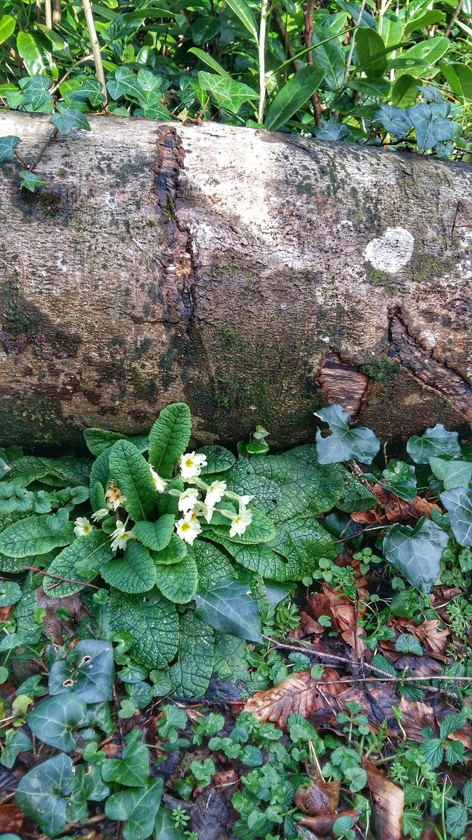 Primroses near Rathbarry and Castlefreke, Co.Cork. #wildflowerhour