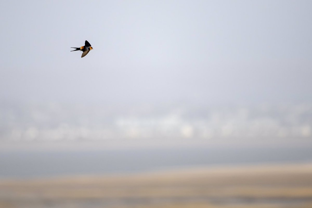 Cym Swallow