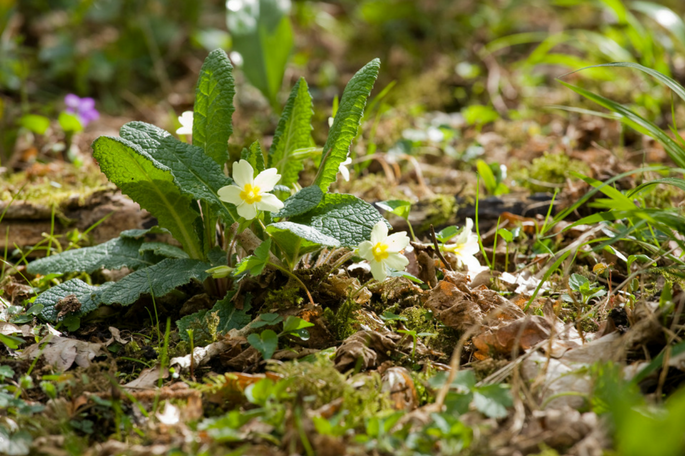 First soft-yellow primroses for #wildflowerhour - a sure sign that spring is on its way. 'Primrose' comes from the Latin 'prima rosa', meaning first rose of the year.  Photo by Tristan Blaine