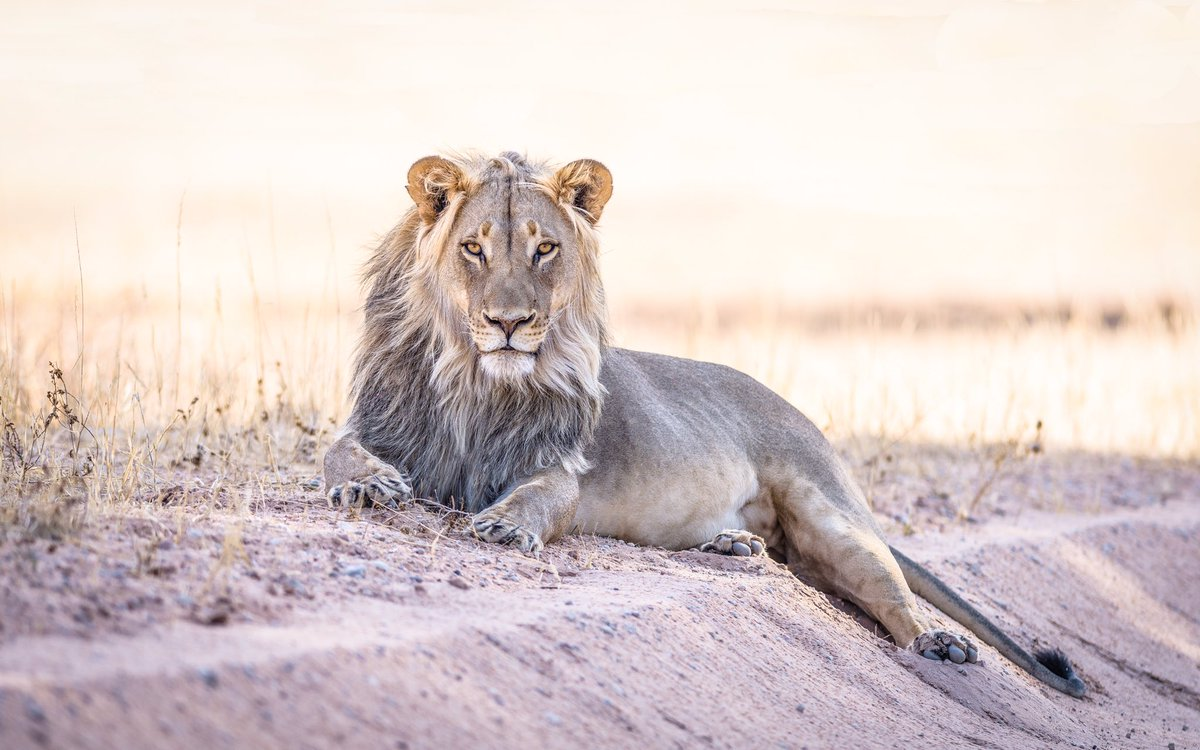 One of the many roadside attractions in the Kgalagadi @NikonUSA Nikon D810, Nikon AF-S 300mm f/2.8 #Lions #Nikon #Africa #Safari #Photography