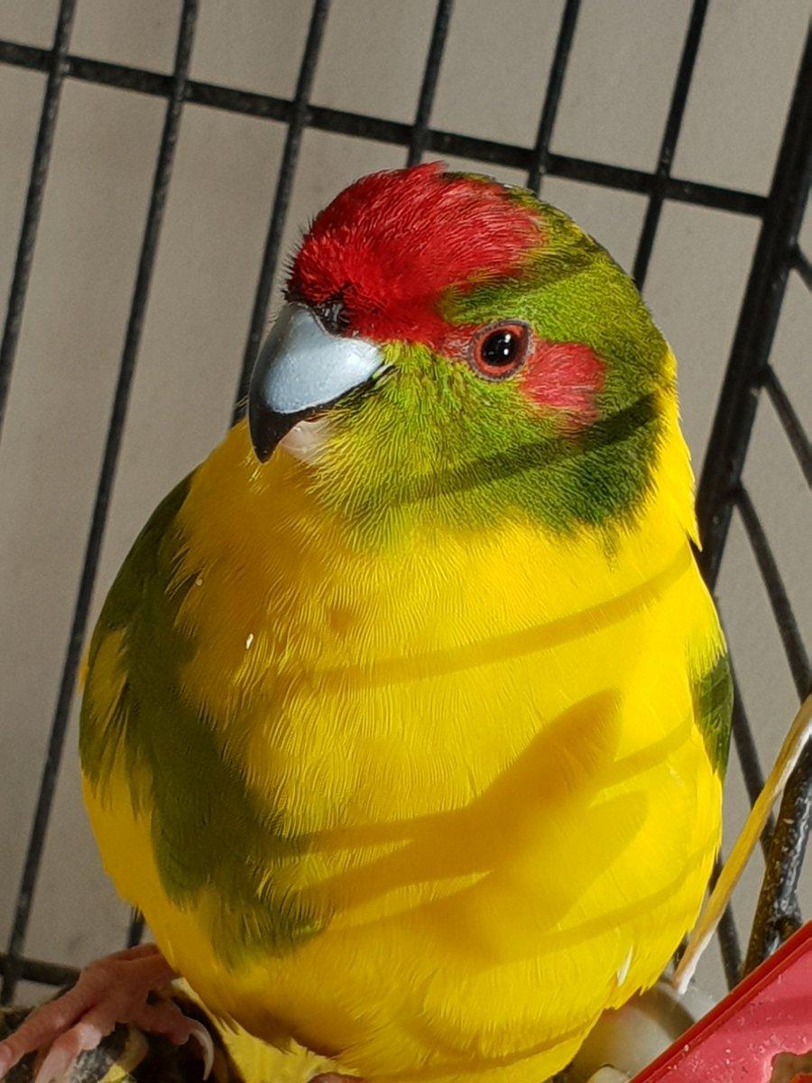 #hellobirdie are you a #bird or are you a #nicebird #photography #macro #kakariki #budgie #parrot #cockatiel