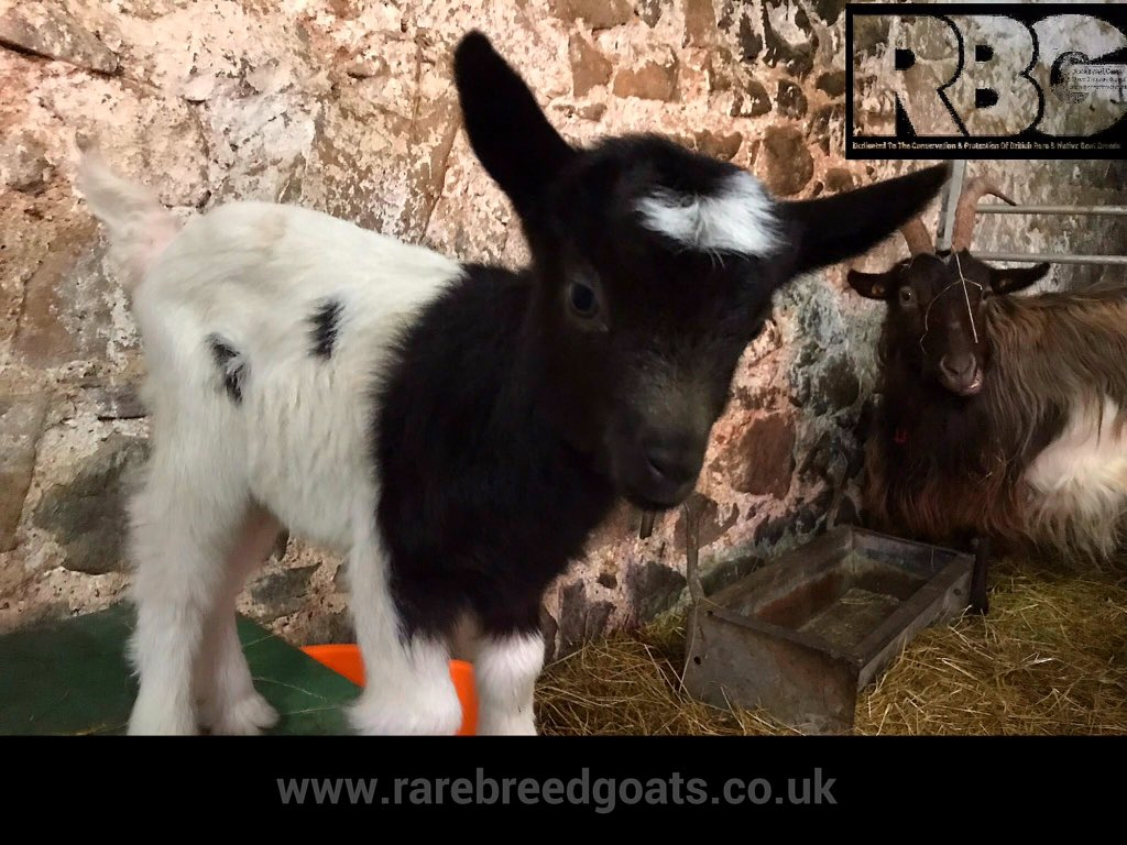 Monday Motivation..Hope you have all had a lovely weekend, ours was spent with these beauties. This cracking image is of Bryne born last Tuesday, she is one of our very new special Bagot Goats born over the last week. #rarebreedgoats #bagotgoats #MondayMotivation #Perthshire #uk