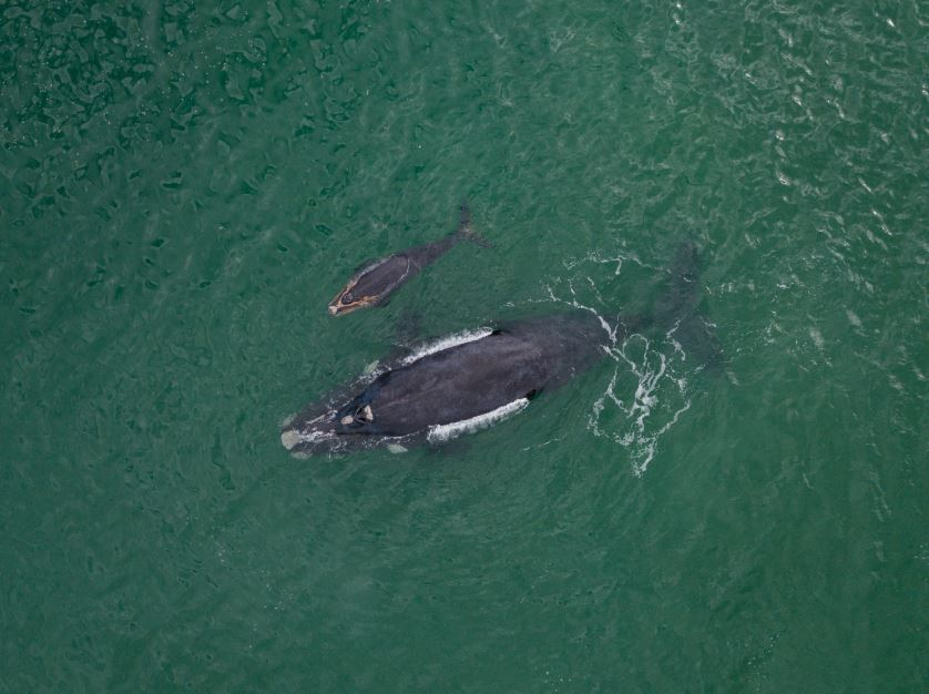 Seven rare right whale calves have been spotted so far this winter off Florida's Atlantic coast. Researchers say each new calf spotted this year is an encouraging sign for the critically endangered whales  https://t.co/nI5iJVswyp