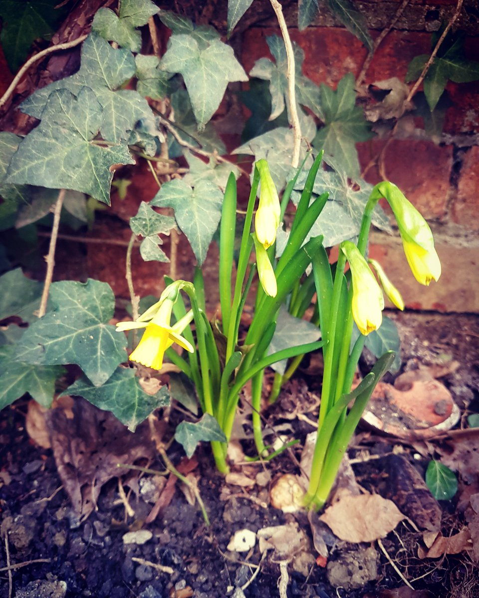 Today these tiny daffodils made me smile #HappyMonday #simplepleasures #buggerbrexit<br>http://pic.twitter.com/SW99Qt27rc