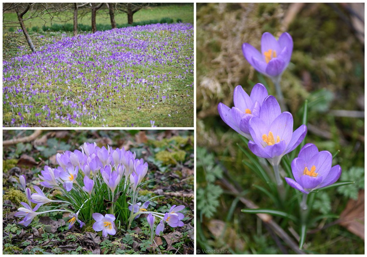 &quot;Like lilac-flame its colour glows, Tender and yet so clearly bright, That all for miles and miles about The splendid meadow shineth out; And far-off village children shout To see the welcome sight.&quot; - &#39;The Wild Spring Crocus&#39; by Mary Botham Howitt. #MondayMotivaton #wildflowers<br>http://pic.twitter.com/yJyUw6YNH1
