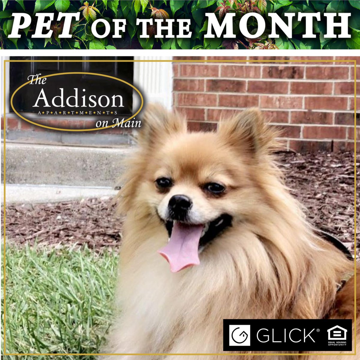 """Bentley has been chosen as our Pet of the Month here at The Addison On Main! Bentley always has a """"smile"""" on his face. He loves coming to the office to say hello to the staff and definitely brightens our day when he does! Thank you, Bentley, for being such a great pet resident!"""