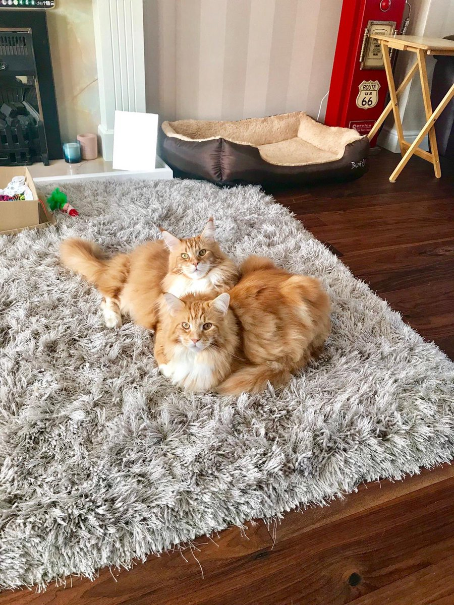 Anybody hungry? Well you're in luck as it's a double #kittyloafmonday from the boys!  #teamfloof #tigerloafmonday<br>http://pic.twitter.com/cbZ4qCJiOW