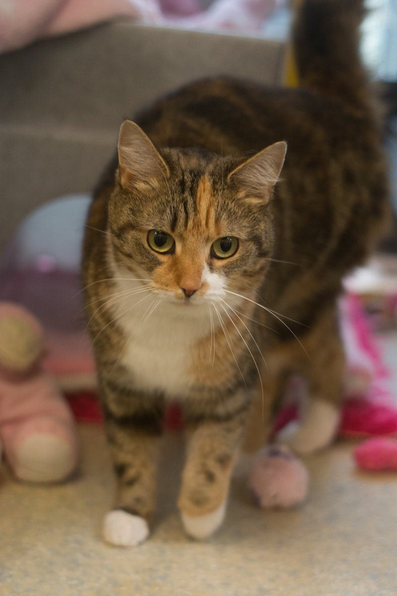 Meet beautiful 3 year old Shanty! She's super affectionate. She's hoping to find her forever home. She enjoys going outside space but always stays close by. She has lived with children but hasn't ever lived with dogs or cats. We're open daily 11-3. #CatsOfTwitter #AdoptMe #Exeter
