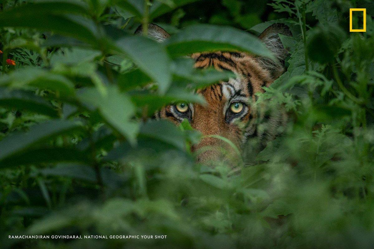 The yellow eyes of a watchful tiger peek through the leavesin this inspiring photo captured by Your Shot photographer Ramachandiran Govindaraj https://on.natgeo.com/2Gxe0z6