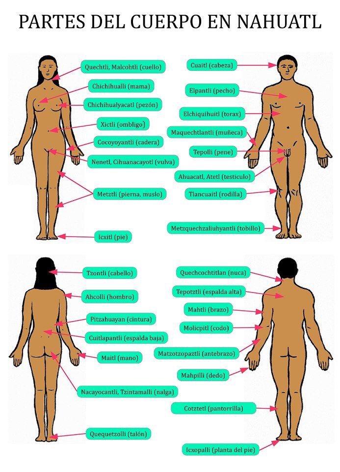 Tonztli: cabello Cuaitl: cabeza Xictli: ombligo Chichihualli: seno Pitzahuayann: cintura Las partes del cuerpo humano en náhuatl.  @AMuyshondt  @MarcelaHerreraR  @Metaemergencia   @AleMondras