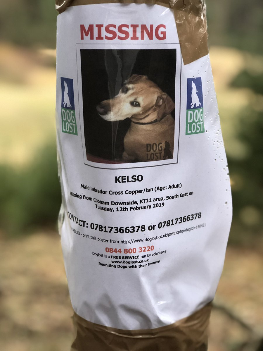 Missing dog Kelso. Please re post this! #missingdog #pleaseretweet #missingdogcobham<br>http://pic.twitter.com/8BQG60rxcs