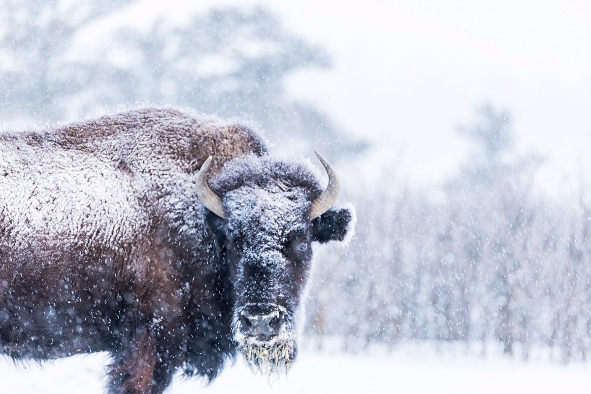 Bison enjoying the fresh snow and seven degree temperature this morning in Colorado ~ Thanks to Michael Ryno Photo @mnryno34 #SnowHour #StormHour
