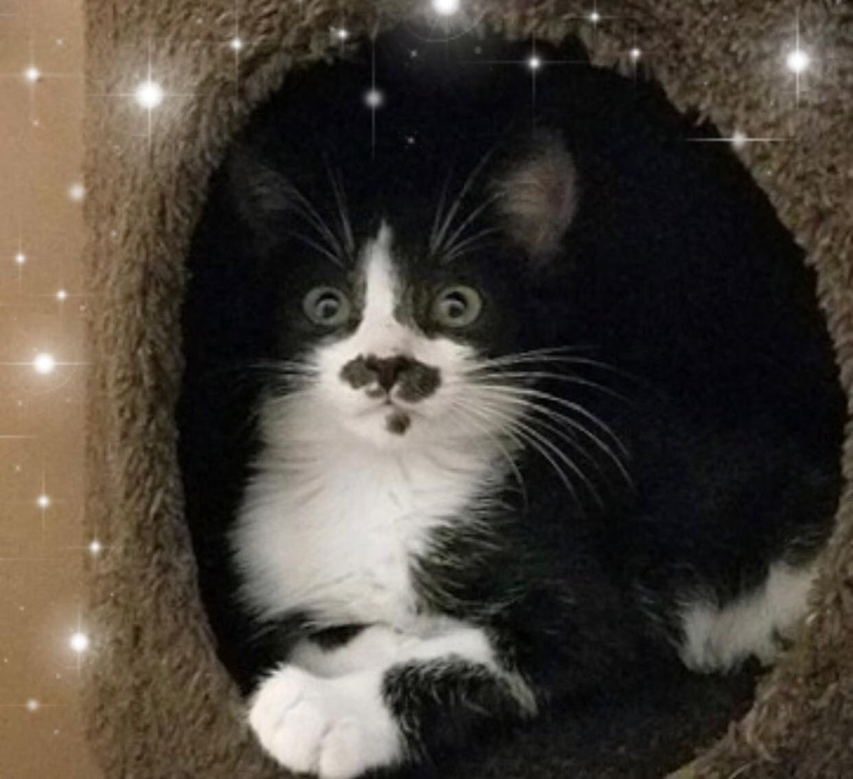 I'm Tashi! Do you like my mustache? Foster mom says it's adorbs! I'm full of energy and love to play with my furiends, but I'm also so happy to come snuggle up with my hooman and give lots of cuddles and purrs! Adopt me, MEOW! http://StFrancisRescue.org #AdoptDontShop