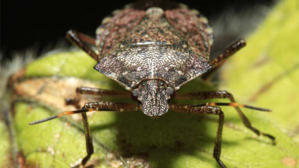 Polar vortex may have killed 95 percent of invasive stink bugs, researchers say http://bit.ly/2DQotSw
