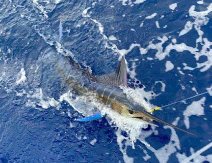Kona, HI - Huntress released a Striped Marlin.