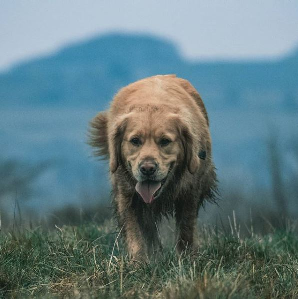 We absolutely love this shot of Roman, a Golden Retriever, by his owner Lee Burden.📸  For your chance to feature on our page use #HillsPetPhotographer  #HillsTransformingLives #HillsPetNutrition #HillsPetFood #Camera #Dogs #Photographer