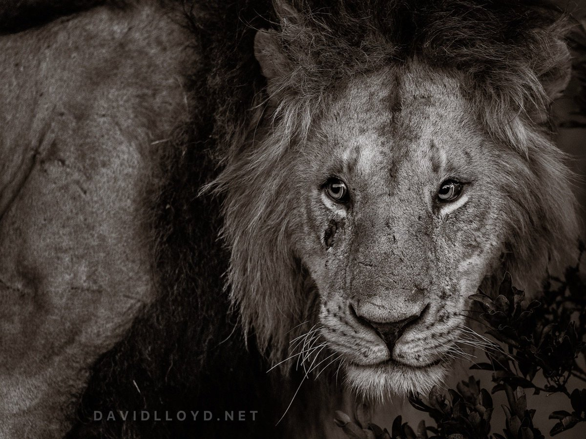 Kaka is of the boys. Yesterday in the #MaasaiMara on our #BigCatPhotoSafari