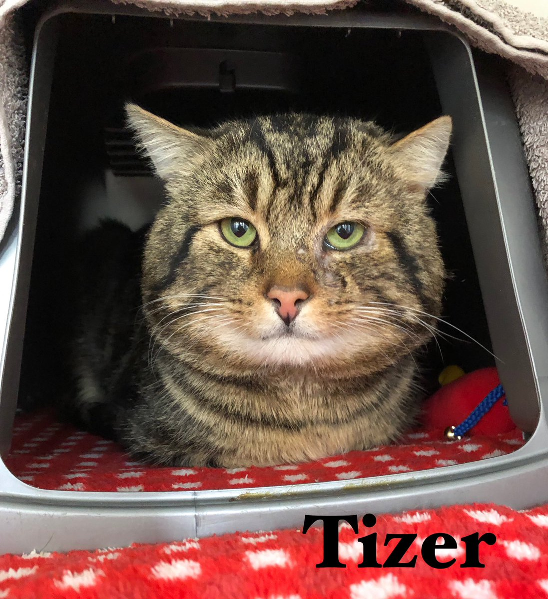 Happy #tabbytuesday from Tizer. He's 4 years old and has been at the shelter a while now. He was very wary when he first arrived but is settling down now. He's very vocal and loves his food - who can resist that face? 😻 #rescuecat #walthamabbey