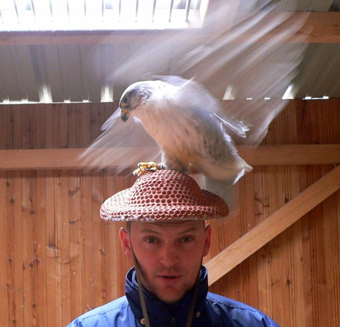TRUE FACT OF THE DAY: When falcon breeders want to breed falcons, they wear special falcon sex hats. The hat encourages the falcon to shag the breeder's head and collects the falcon sperm, which can then be artificially inseminated.   I'll say that again: FALCON SEX HATS.
