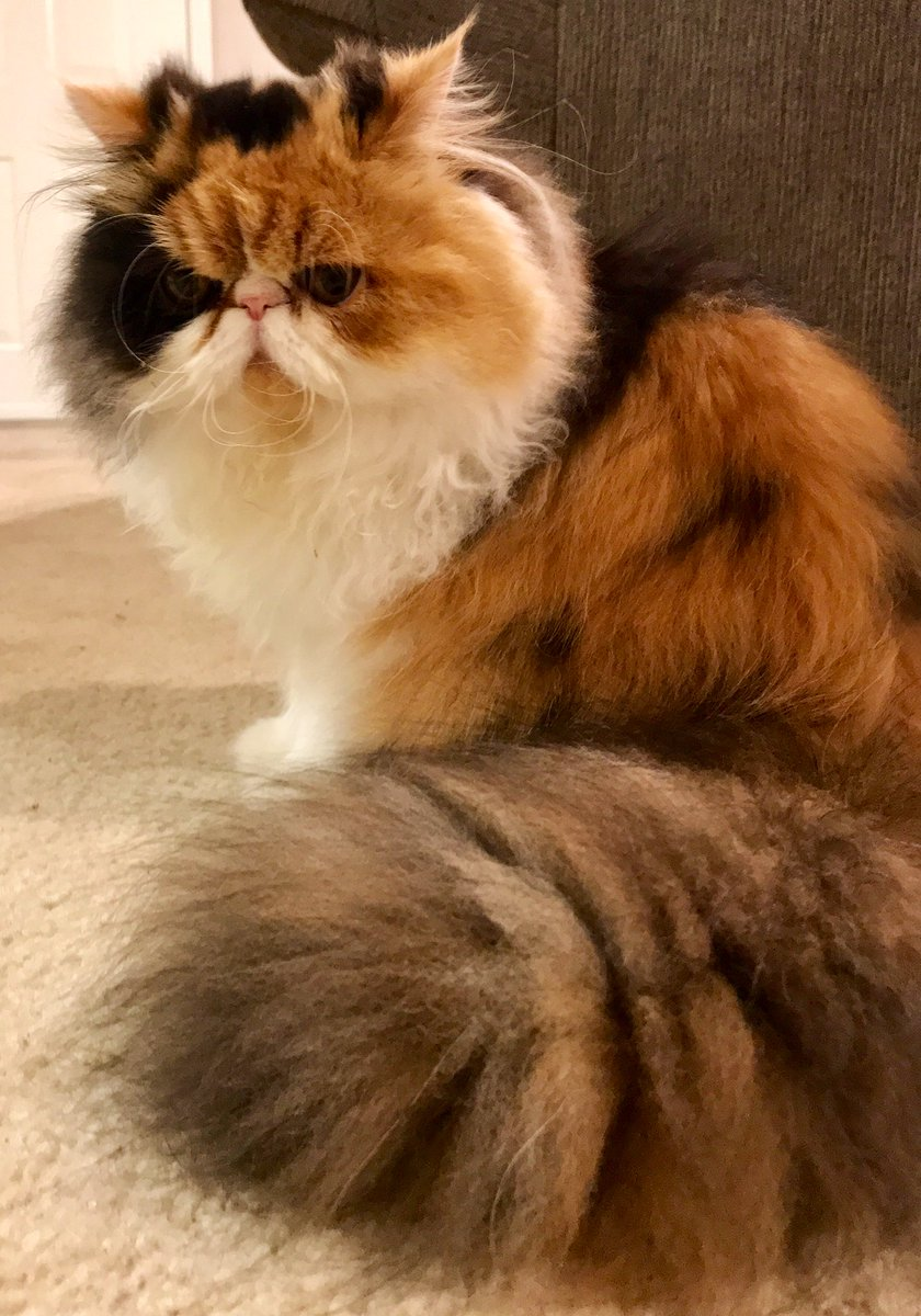 We might need to tame that tail a bit, Lil' Floof. It almost has its own area code.  #CatsOfTwitter <br>http://pic.twitter.com/mcjLeqFIWB