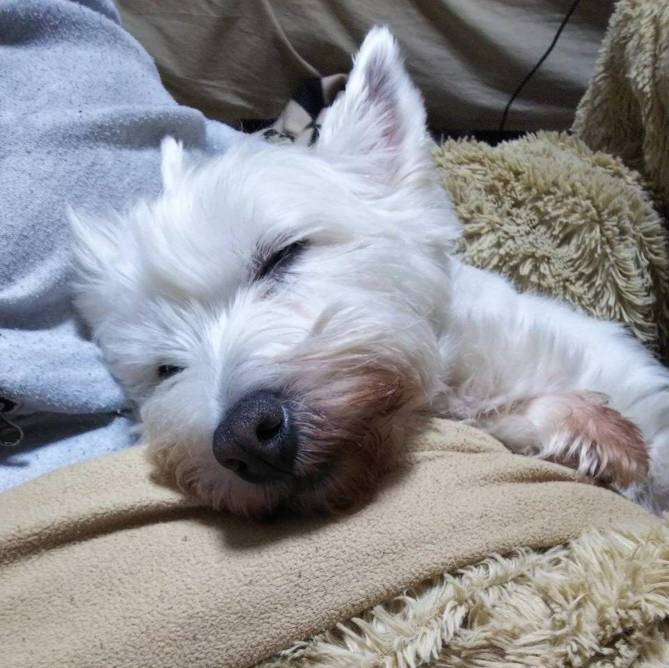 Resultado de imagen para 犬 westie 私のベッドで眠っている