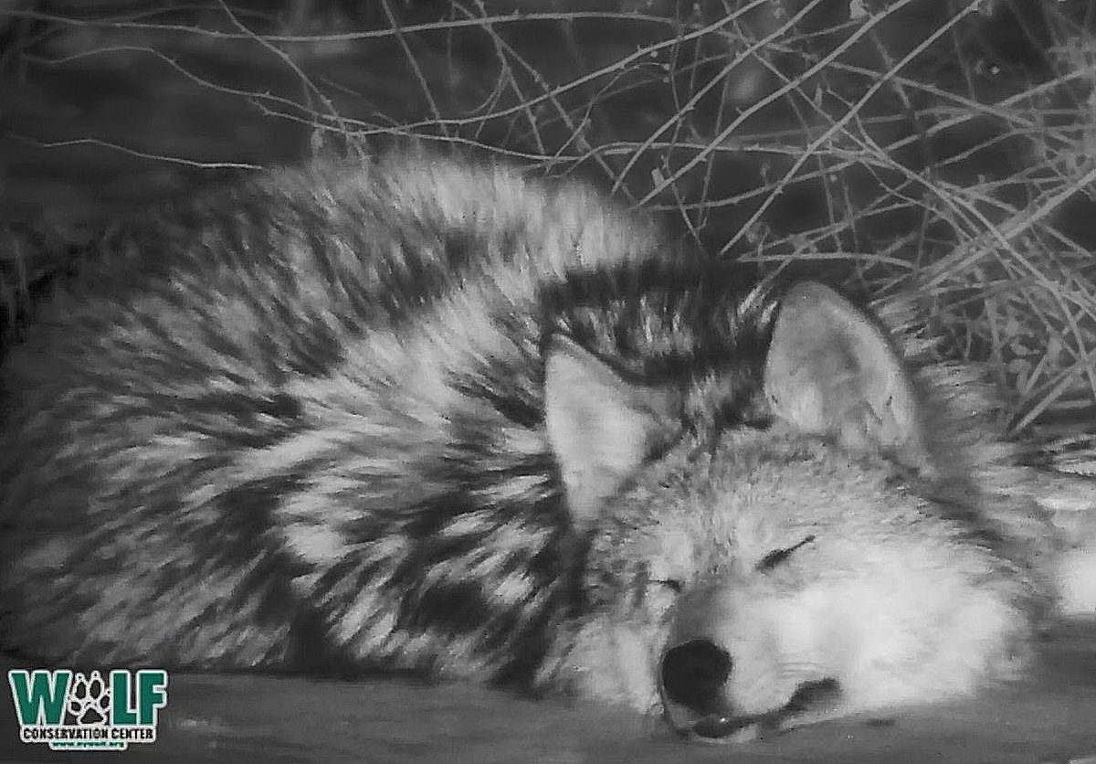 Maybe she&#39;s dreaming of a world where Mexican wolves no longer cower on the edge of extinction; and where every child learns of, and respects, her essential kin.  Join the sleepy 10-month-old Mexican gray wolf now via live webcam:  http:// bit.ly/2szNHiu  &nbsp;    #savethelobo <br>http://pic.twitter.com/LQucUNT2Zt
