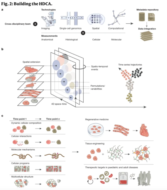 Wonderful to see this great perspective article in @nature outlining the roadmap to create the Human Developmental Cell Atlas. With the HCA Developmental Biological Network and their collaborators worldwide.