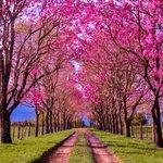 Image for the Tweet beginning: 🌸Que los hermosos lapachos rosados