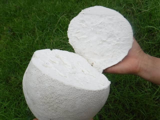 実は食べられる?空き地とかに急に生えてくる謎の白いキノコ「オニフスベ」!
