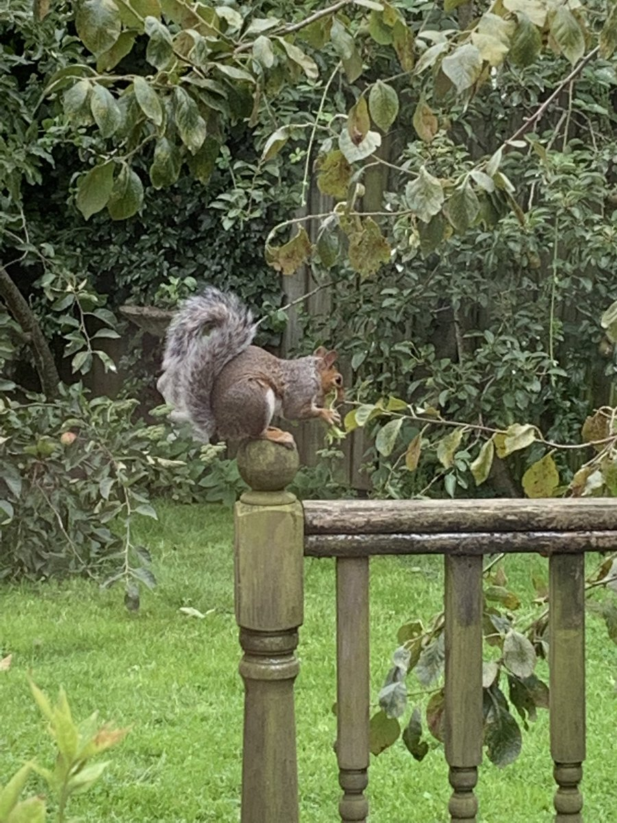 New resident…helping himself to the nuts off the hazel tree in the garden.